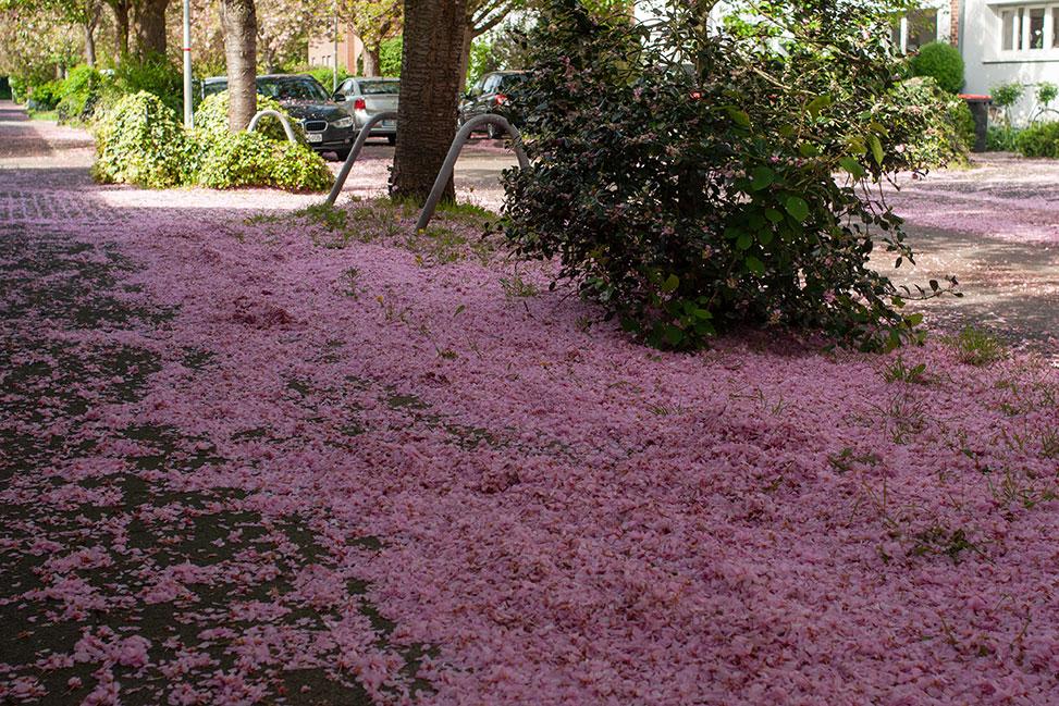 wildkirschblüten auf dem gehweg