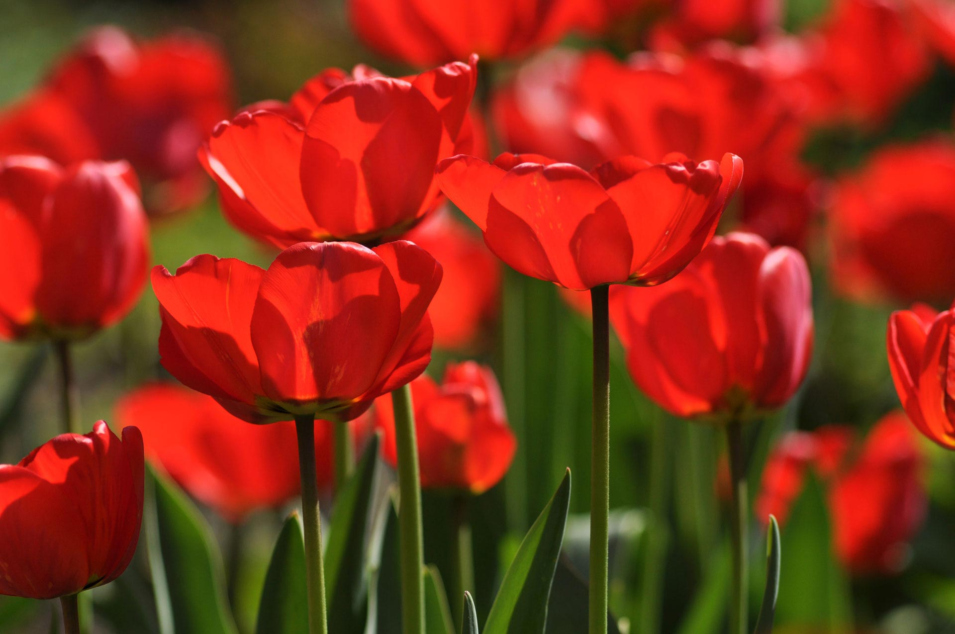 ein rotes tulpenmeer