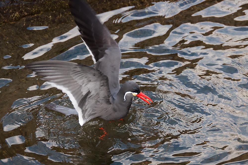 was sich bewegt inkaseeschwalbe