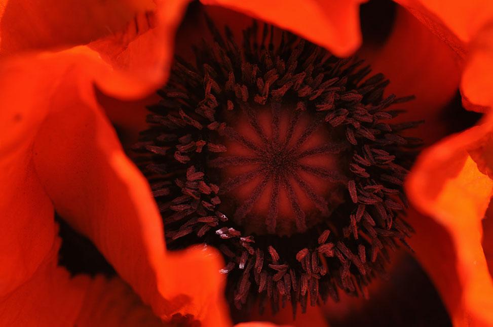 die erotik der natur mohnblume
