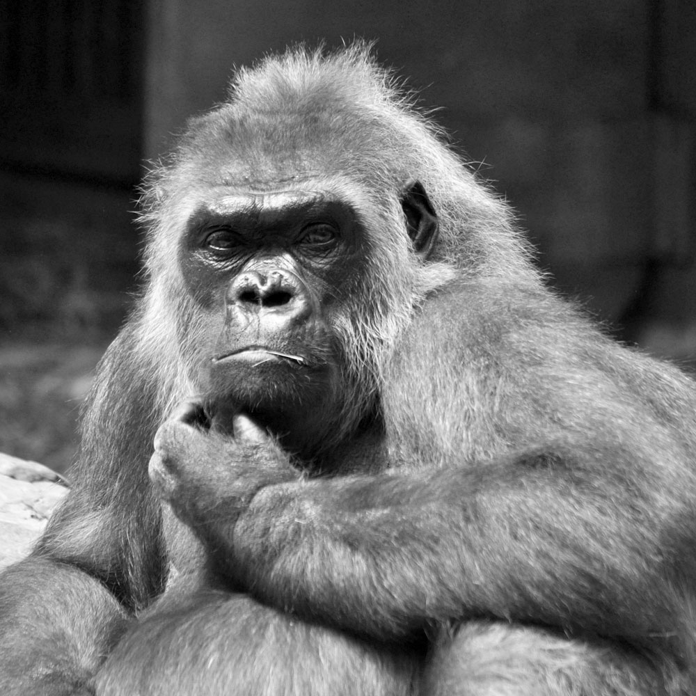 brand im krefelder affenhaus gorilladame zoo krefeld
