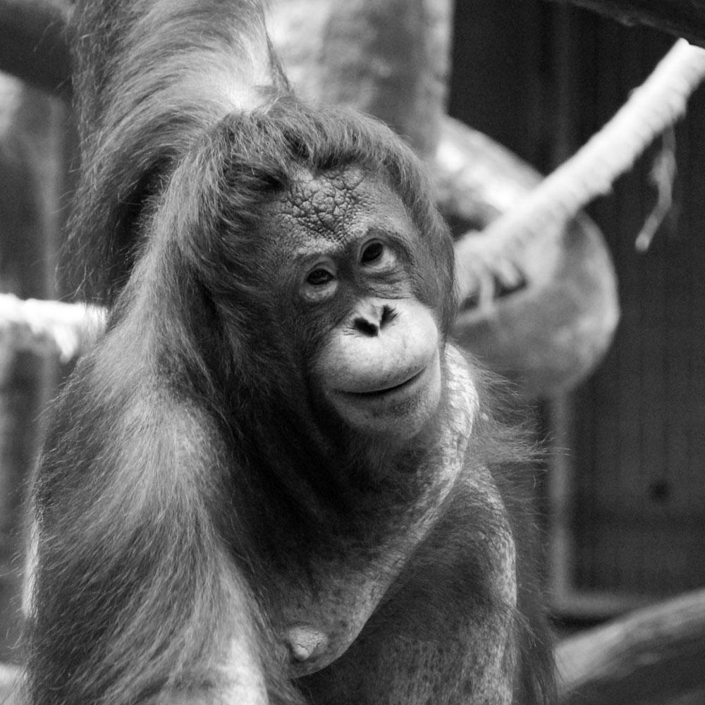 brand im krefelder affenhaus orang-utan