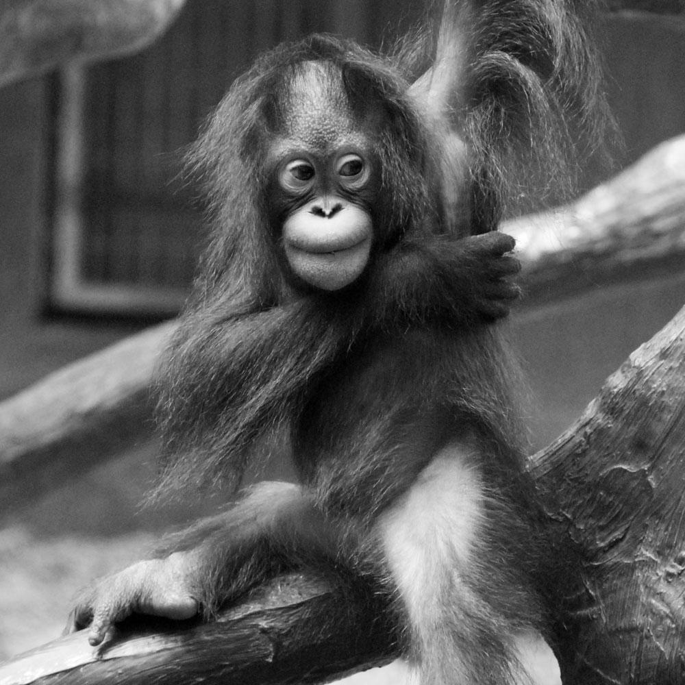 brand im krefelder affenhaus orang utan baby zoo krefeld