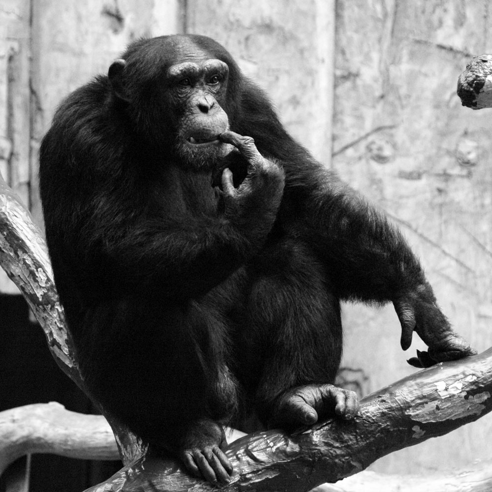 schimpanse zoo krefeld