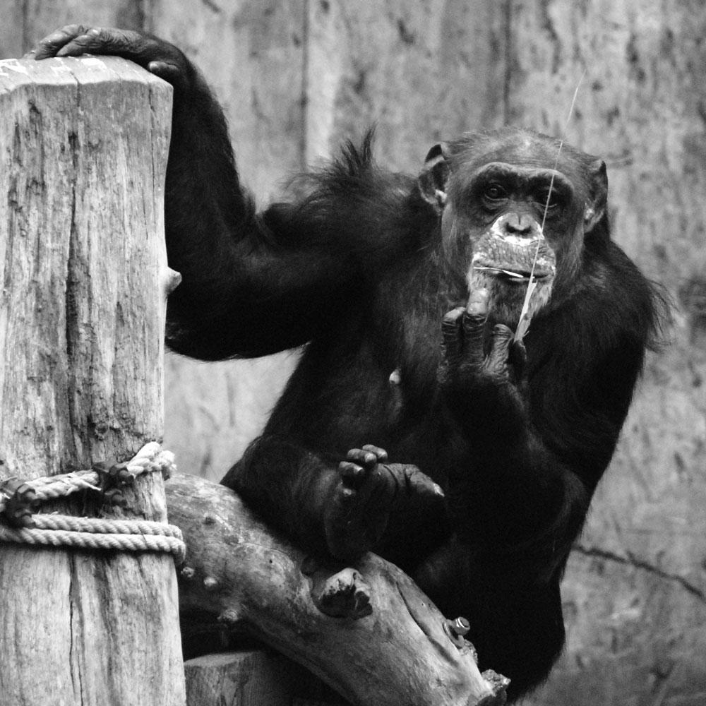 brand im krefelder affenhaus schimpanse zoo krefeld