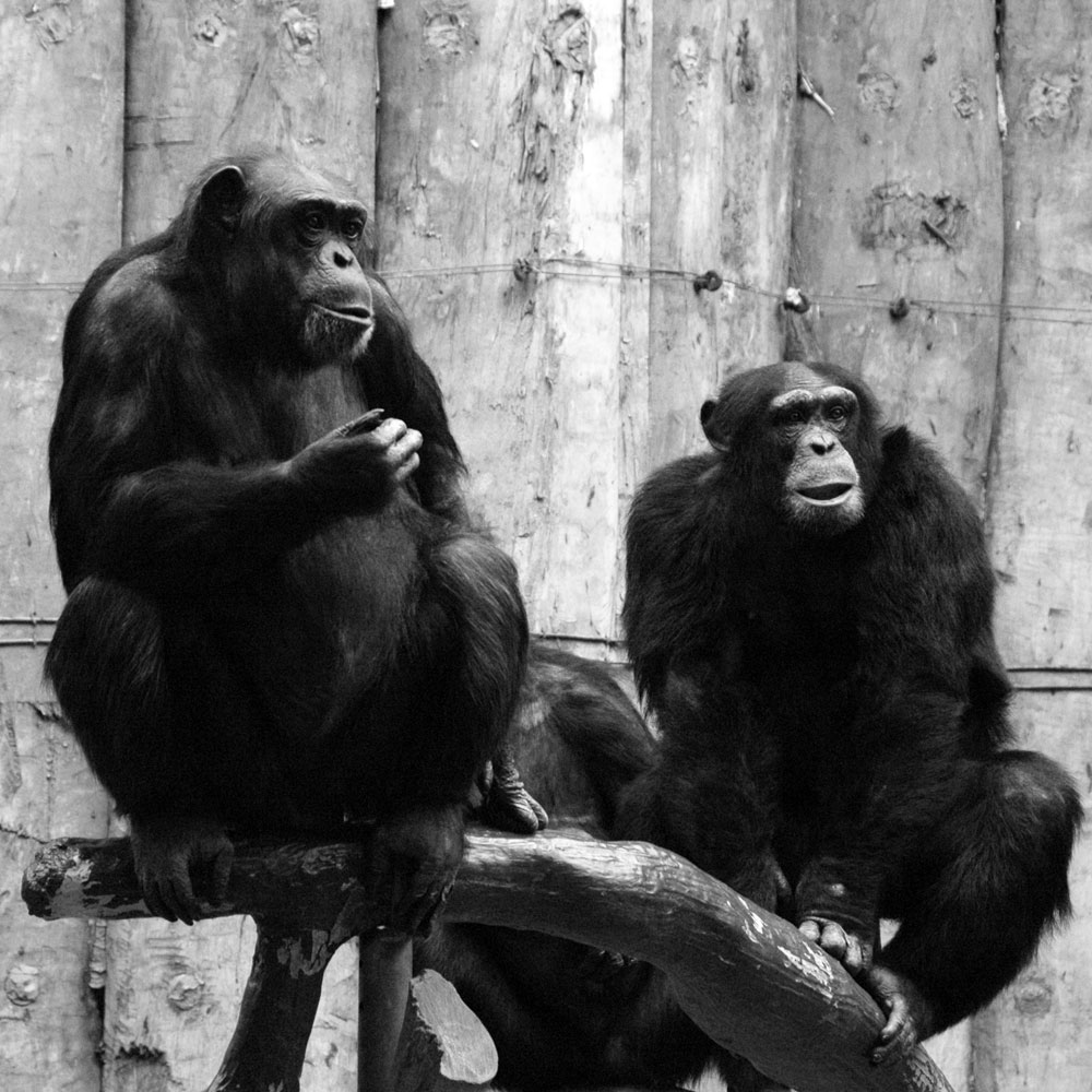 schimpansen zoo krefeld