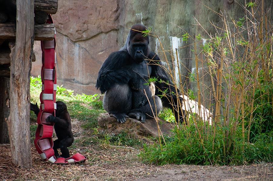 Gorilla Kidogo
