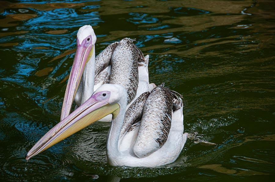 2 junge Pelikane