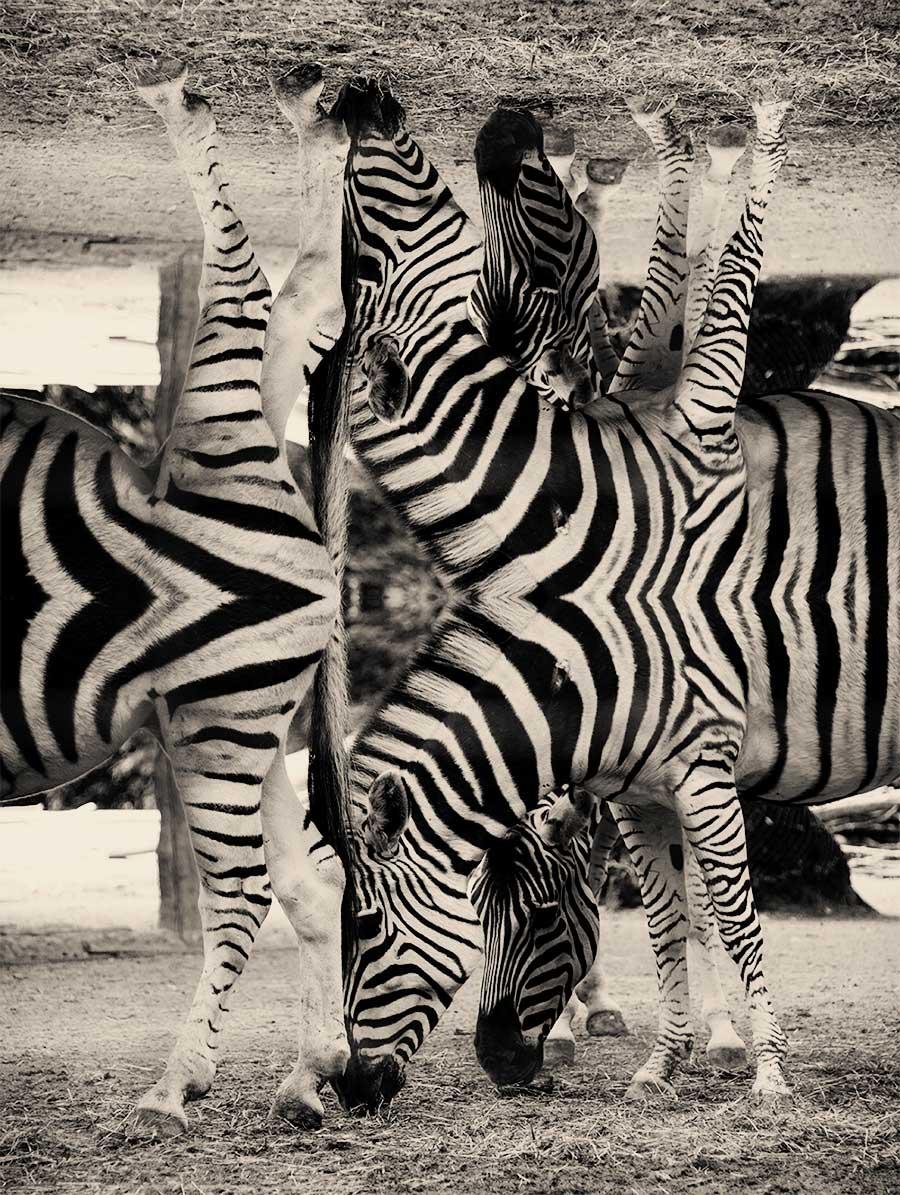 Zebras Doppelkopf