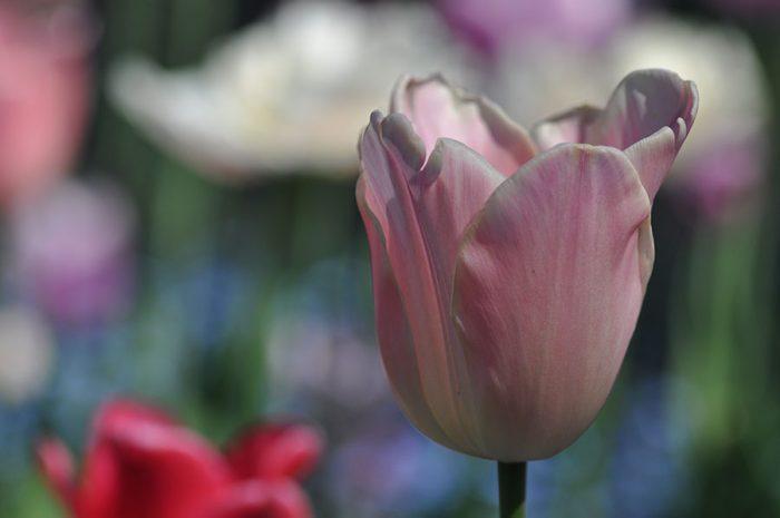 Tulpenvielfalt – Zartrosa Tulpe