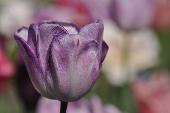 Tulpenvielfalt – lila Tulpe