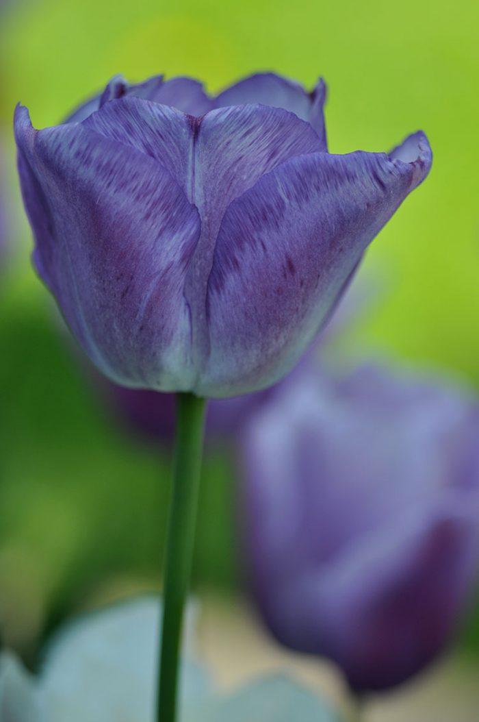 Lilafarbene Schönheit