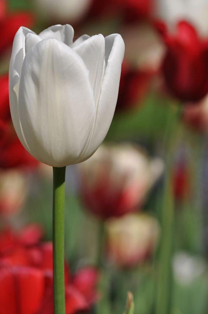 Tulpenvielfalt – weiße Schönheit