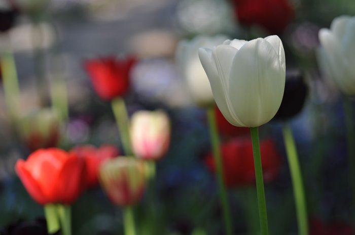 Buntes Tulpenmeer