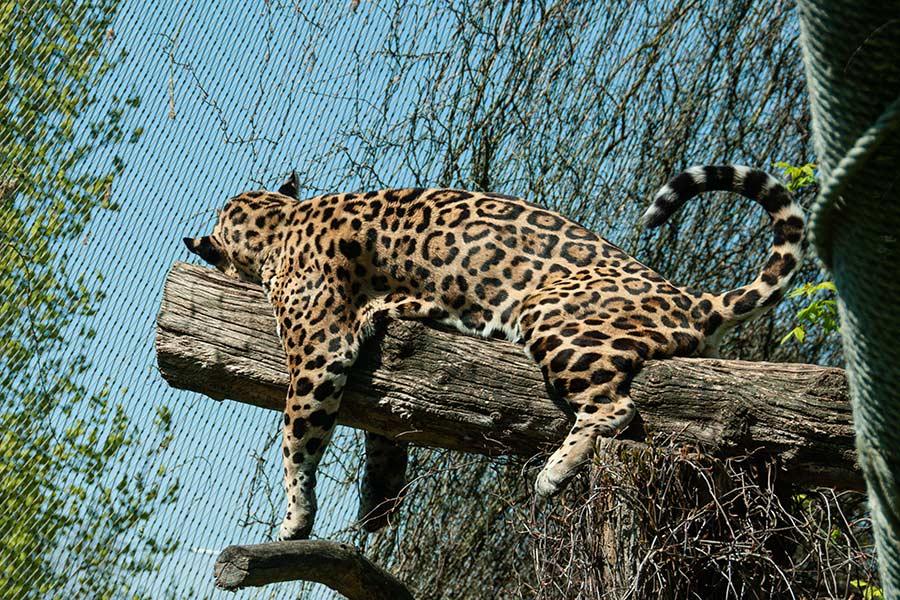 Jaguar Krefelder Zoo